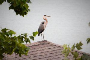 Great Blue Heron on rooftop at Grande Vista Bay