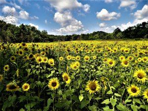Field of Sunflowers in Grande Vista Bay