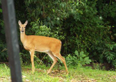Deer - young doe looking