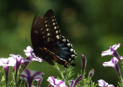 Butterfly takin necter from flowers.