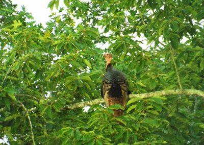Turkey pirched in tree.