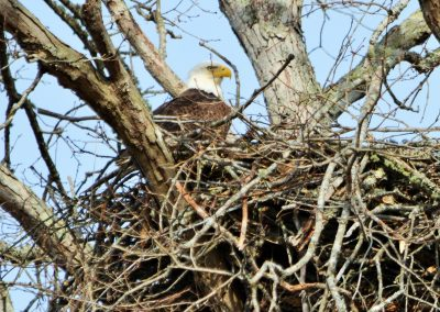 Nesting Bald Eagle
