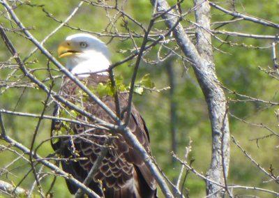 Bald Eagle in tree.