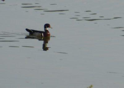 Wood duck swimming.