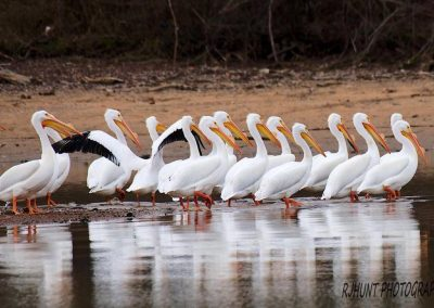 Pelicans gathered on lake shore.