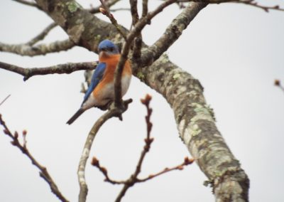 Male Blue Bird perched in tree facing camera.