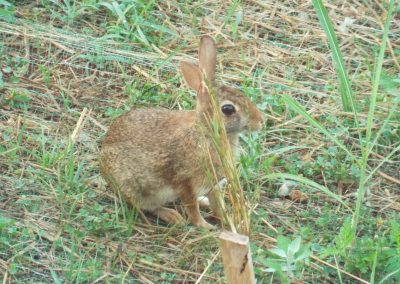 Young brown rabbit.